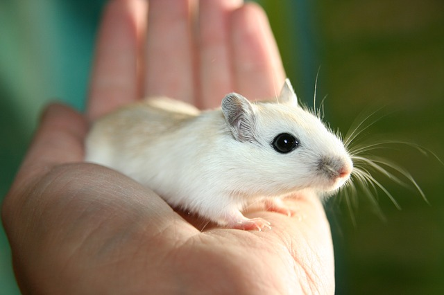 How do I Stop My Gerbils Declanning? – Rodent Zone