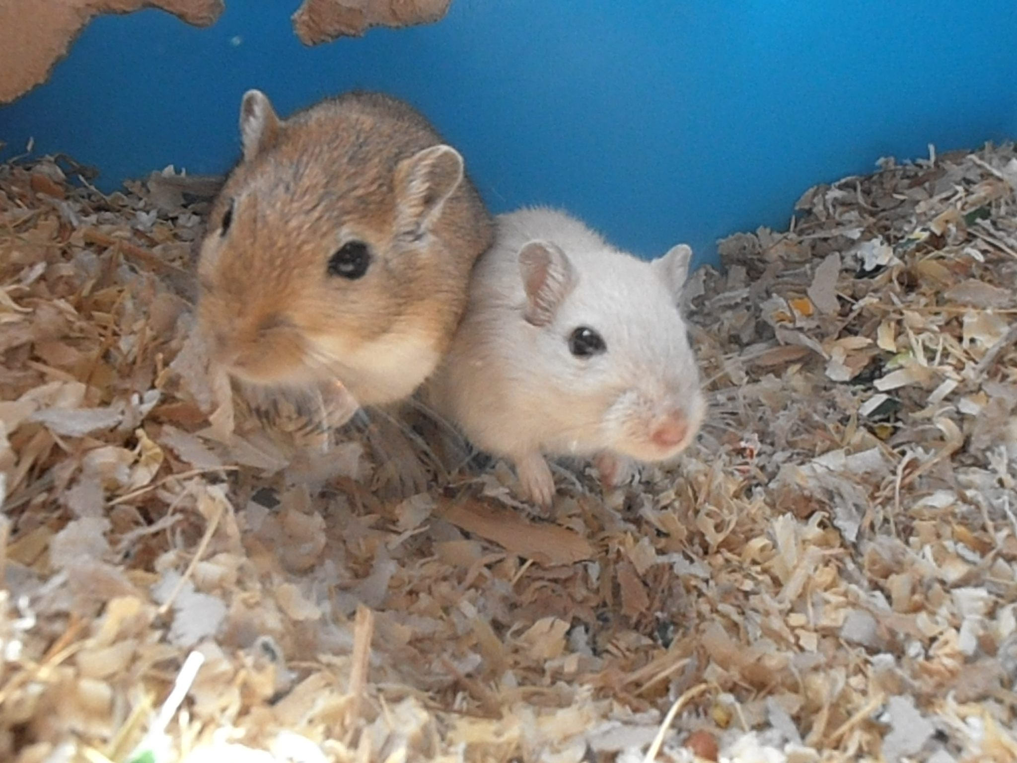 picture 4 Ways to Buy a Gerbil