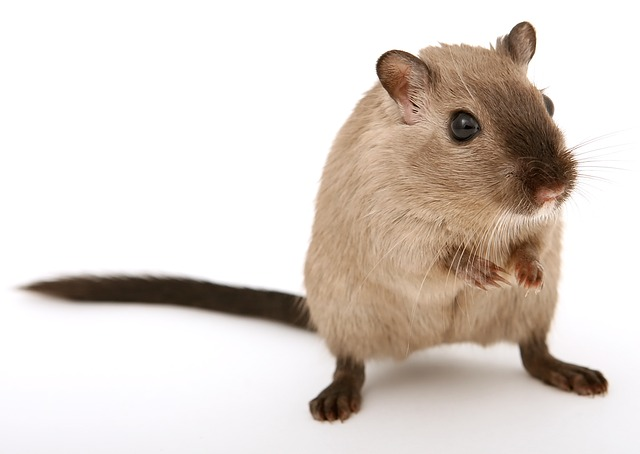 Mongolian Gerbil Vs Syrian Hamsters As Pets – Rodent Zone