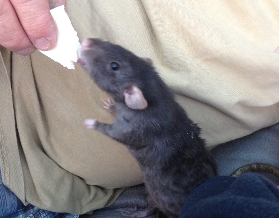 Can Rats Eat Cheese? – Rodent Zone