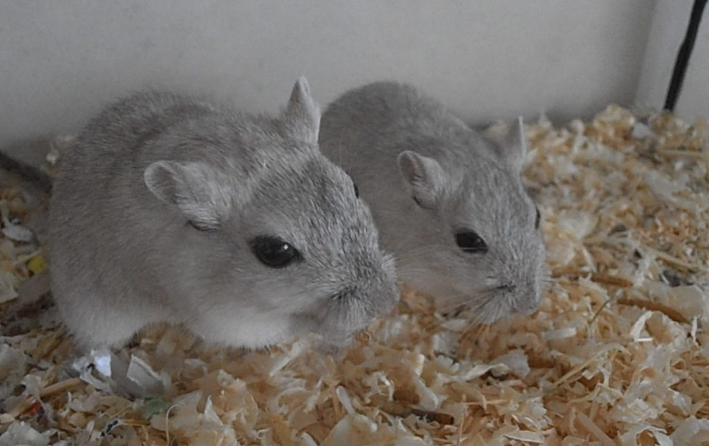 Help! I Think My Gerbil has a Scent Gland Tumour  – Rodent Zone