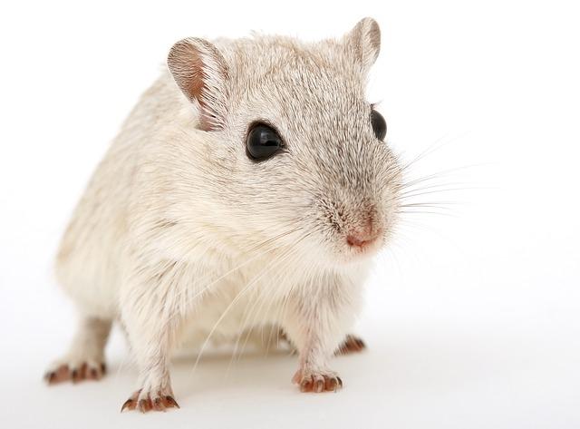 best gerbil bedding – Rodent Zone