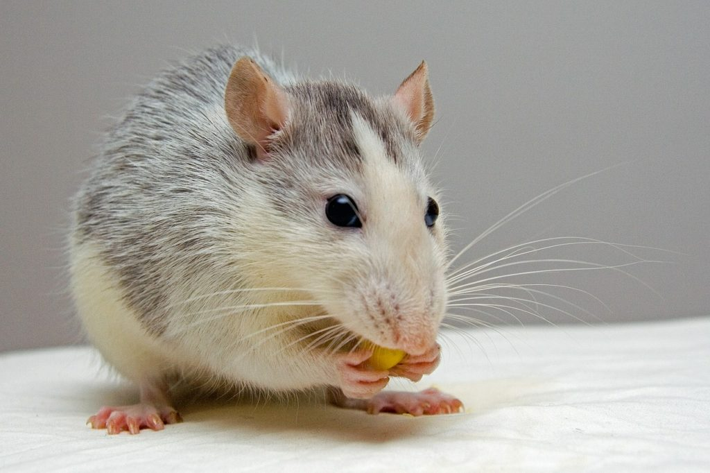 Can Rats Eat Grapes Rodent Zone